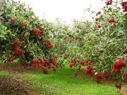 Bán vườn trái cây ( chôm chôm ) ở Trung An, Củ Chi, DT: 4000m2, SHR, LH: 0939 813696.